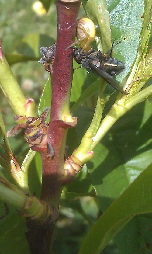 spider eating a fly in peach tree