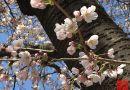 2016 봄의 하얀설경 경주벚꽃 자태를 자아내다.