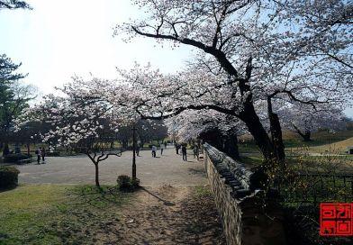 경주의 아름다운 대릉원 벚꽃 보러 오이소.