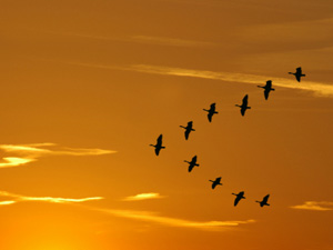 Geese in a V-formation