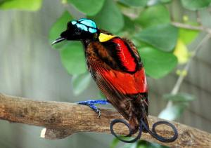 Wilson's_Bird_of_Paradise_Best