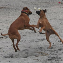 Shiraz (L) and Kobe (R) enjoy some Ridgeback playtime.