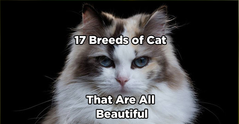 17 Breeds of Cat That Are All Beautiful
