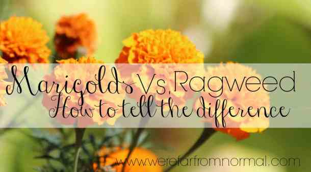 How to tell the difference between Marigolds and ragweed