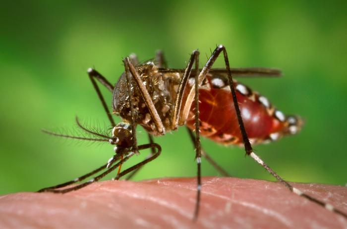 Female Aedes Aegypti mosquito.