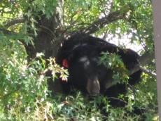 Don't Try to Pet the Black Bear Spotted in Middletown