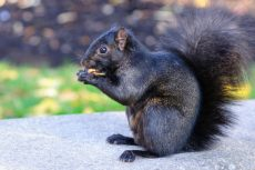 Black Squirrels: A Scientific Perspective