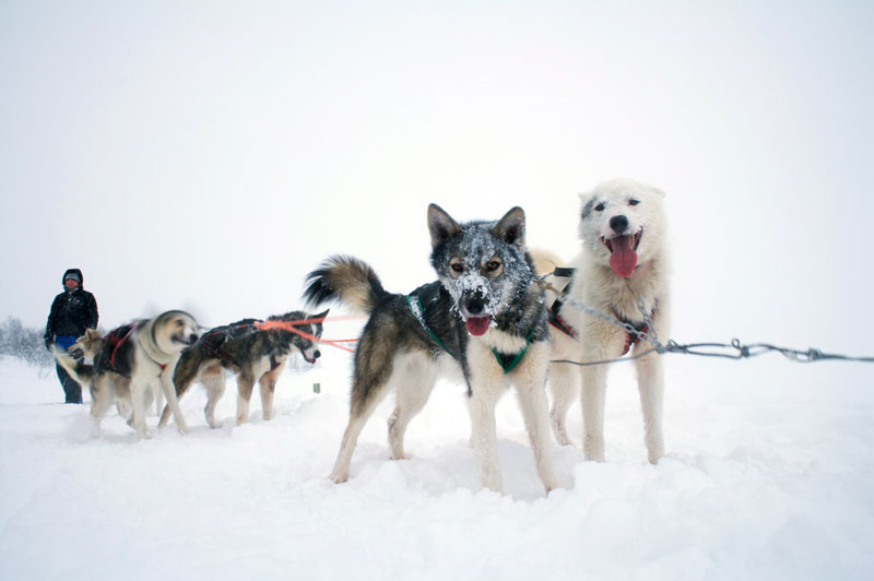 hurtigruten_huskies_Ggg008