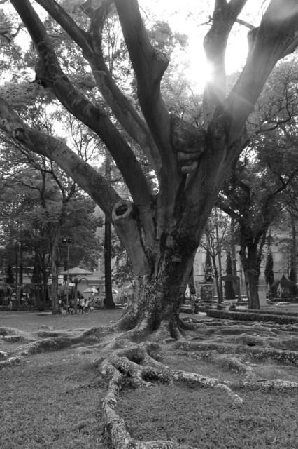Beautiful old tree in Saigon