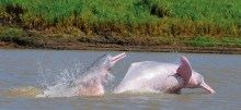 'A River Below': The fight for the Pink River Dolphin