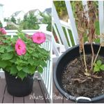 Whats Ur Home Story: Hibiscus wilt disease