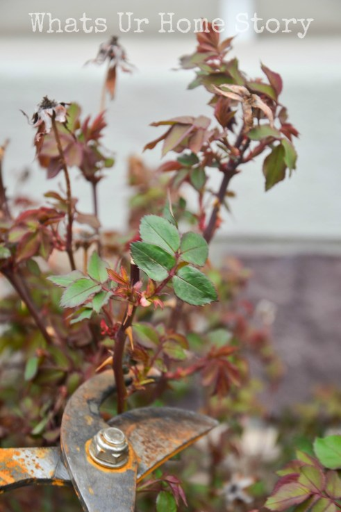 how to prune knockout roses; Tutorial on pruning knockout roses