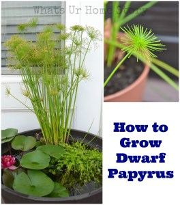 how to grow dwarf papyrus