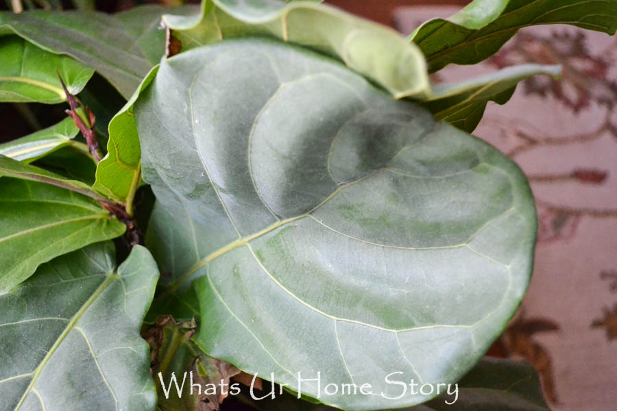 Clean fiddle leaf fig leaves