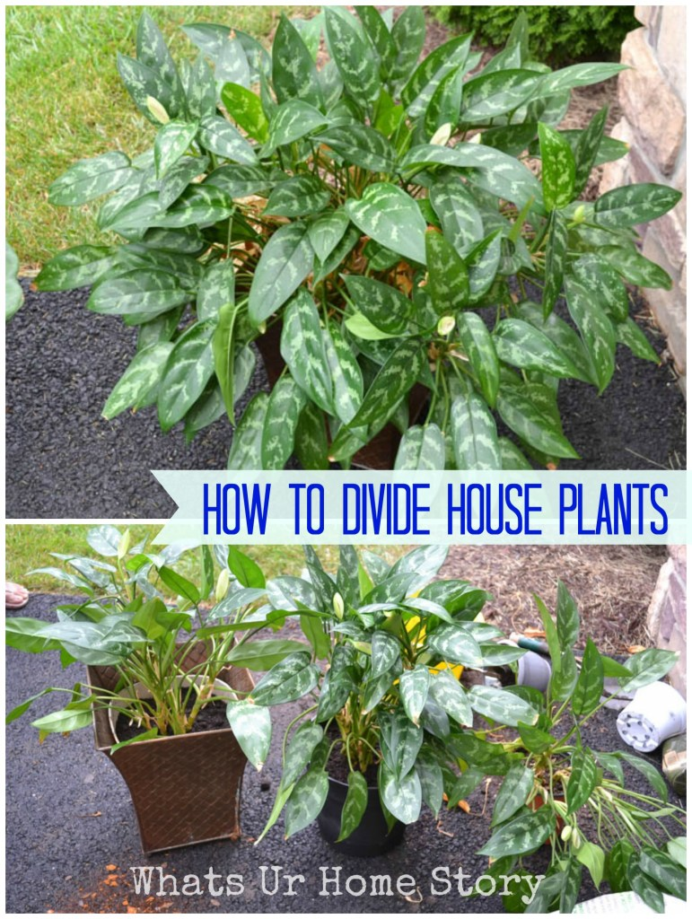 How to Divide Potted Plants - Whats Ur Home Story