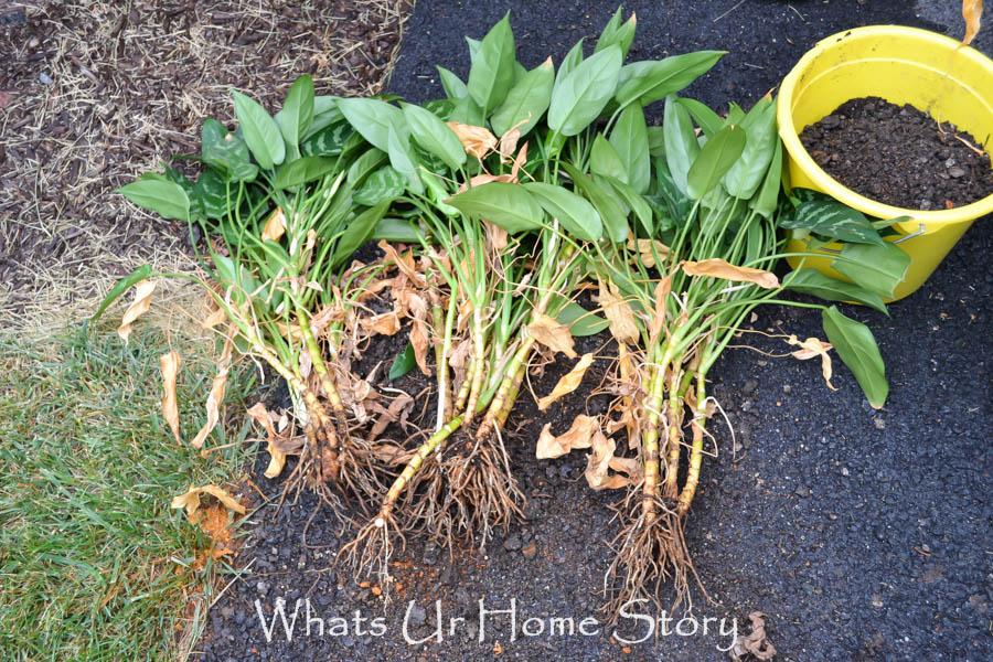 dividing house plants