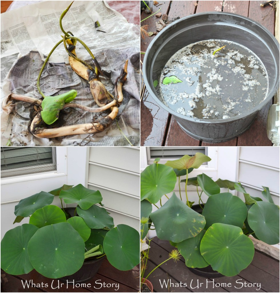 growing a lotus