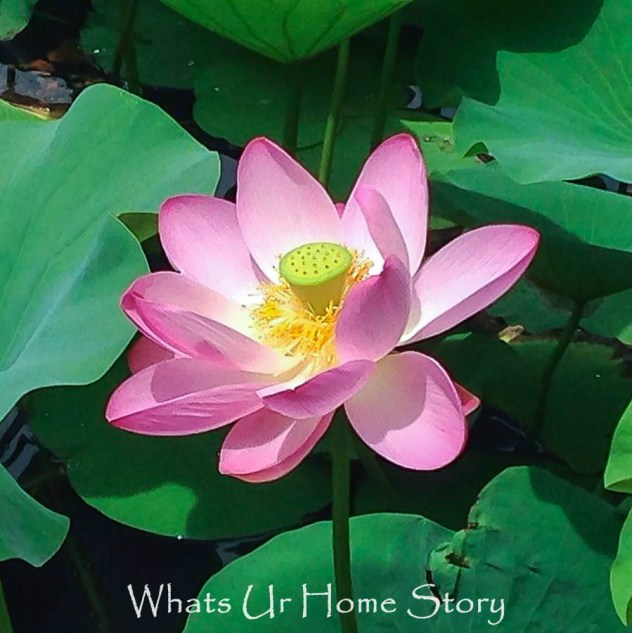lotus flowers in full bloom