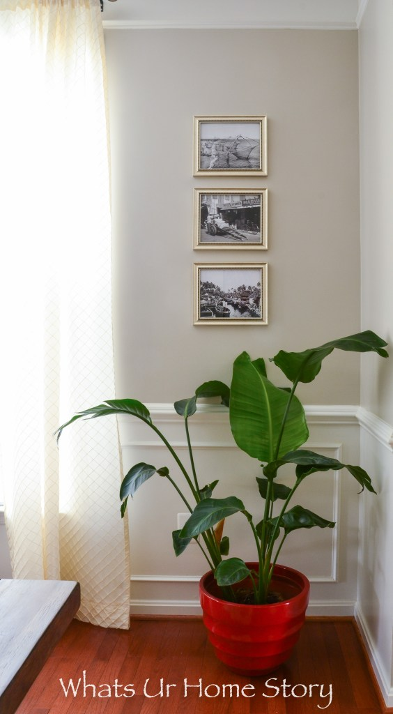 Bird of Paradise plant in a transitional dining room with black and white photos as wall art and Benjamin Moore Revere Pewter wall color