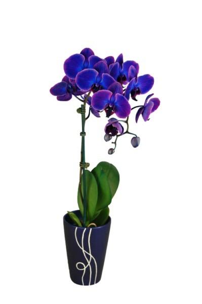 indigo_orchids_399_x_600_