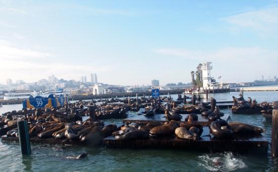 San Francisco Sea lions