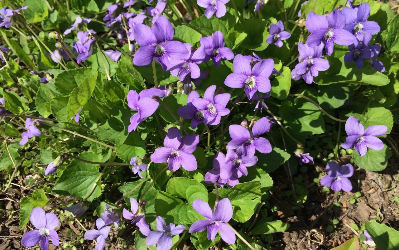 Fullsize Of African Violets For Sale