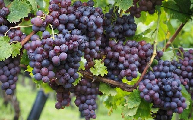 da4107236e889ecb_640_wine-grapes