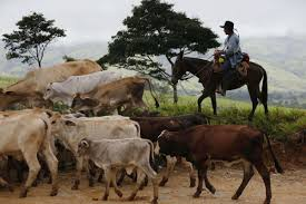 A cowboy herds his cattle near Buenavista in the municipality of Mesetas, Colombia, Monday, June 26, 2017. On Tuesday, Colombia's President Juan Manuel Santos and the FARC's top commander Timochenko will meet in this area, at one of many rural camps where rebel fighters are making their transition to civilian life, to commemorate the completion of FARC disarmament process. (AP Photo/Fernando Vergara)