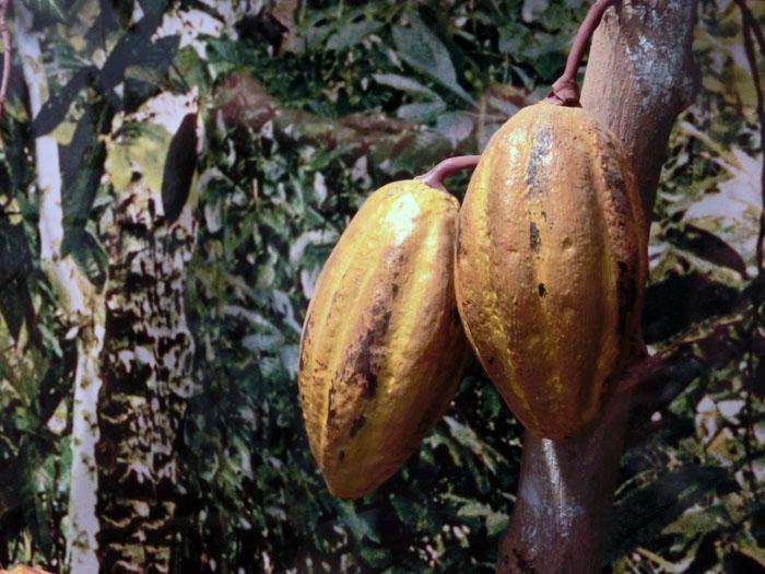 cacao_Bellezainteligente