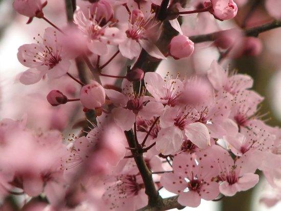 cherry_blossom_05