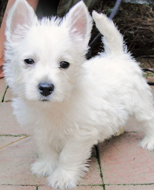 westie puppy travel dogs cats uk