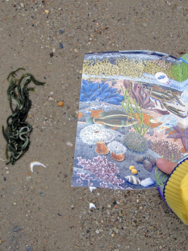 seaweed beachcombing guide