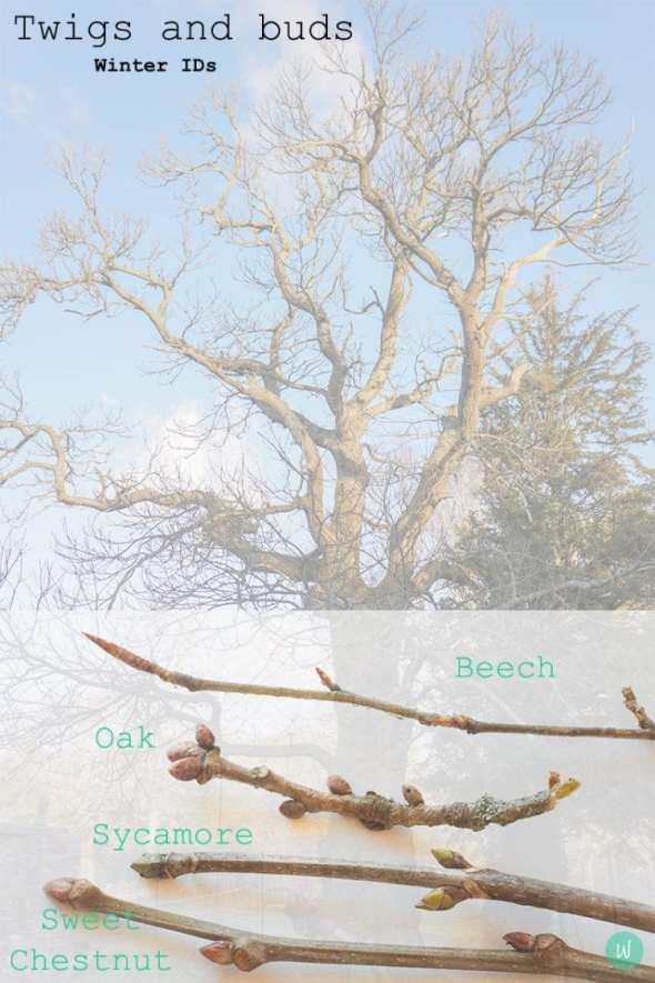 Who's that tree? (Plus winter twigs and buds printable)