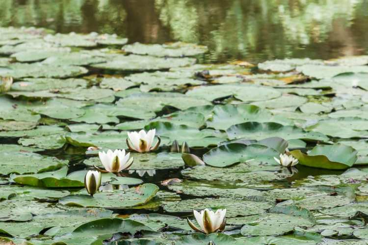 Water lilies in the lake in the woods