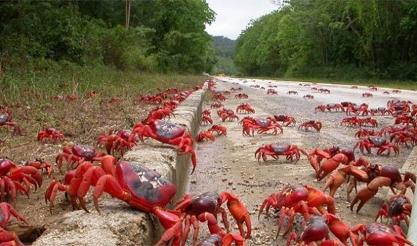 Assembly Of Crabs: Off the coast of Australia on Christmas Island, the annual migration of nearly 120 million red crabs creates quite a sight as they make their way to the ocean.
