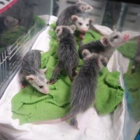 Orphaned Opossum Joeys