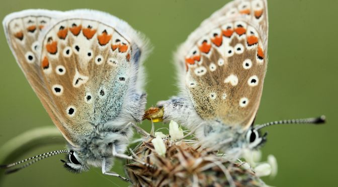 Common blue – #4 Butterfly challenge