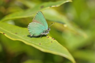 Green hairstreak#2