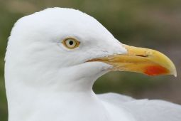 Herring Gull closeup(L.Lysaght)