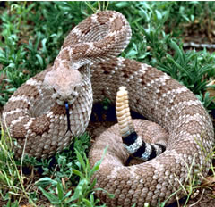 rattlesnake preparing to strike - Don't put yourself in this position.