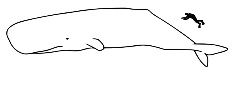 sperm whale size
