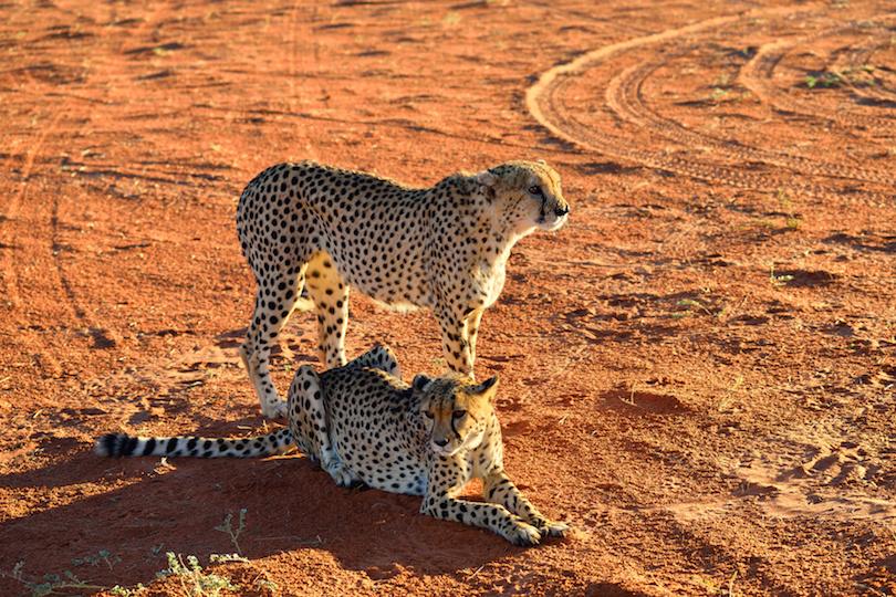 Africa. Namibia. Cheetahs