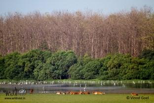 swamp deer with birds at dudhwa national park