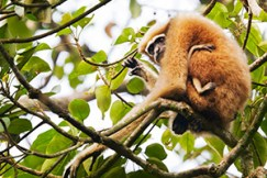 hoolock gibbon at kaziranga national park