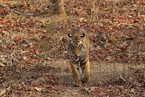 Panna wildlife tour India