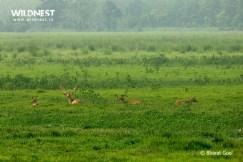 Hog deers herd at dudhwa tiger reserve