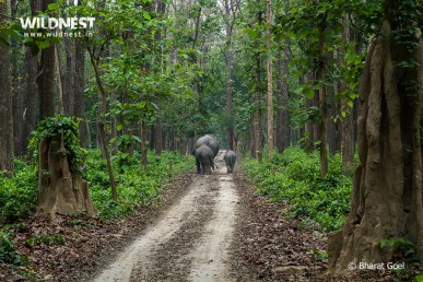 Elephants at dudhwa tiger reserve