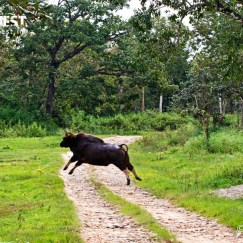 Indian Gaur at bandipur national park