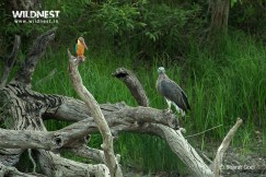 kingfisher with grey headed fish eagle at dudhwa tiger reserve