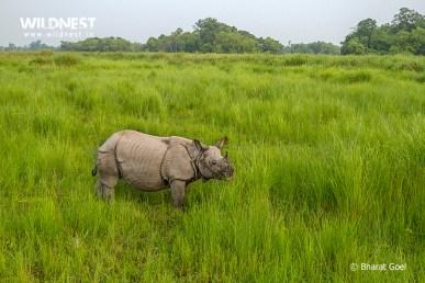 Rhino at dudhwa tiger reserve